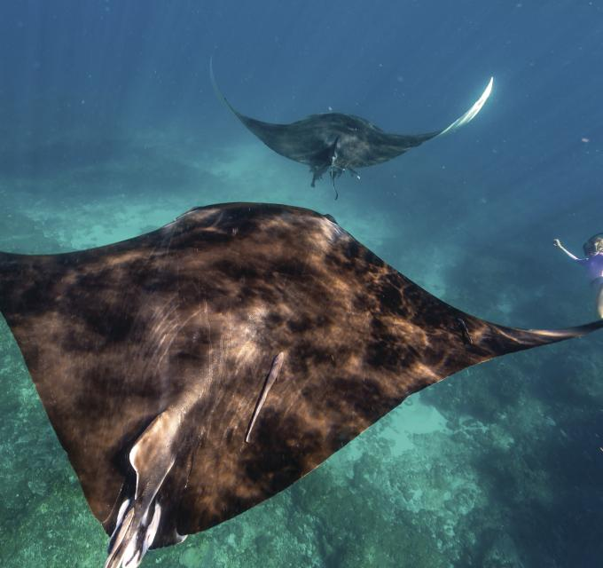 Swimming with manta rays on the Ningaloo Reef, Coral Bay, Western Australia